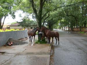 Cavalos comendo lixo